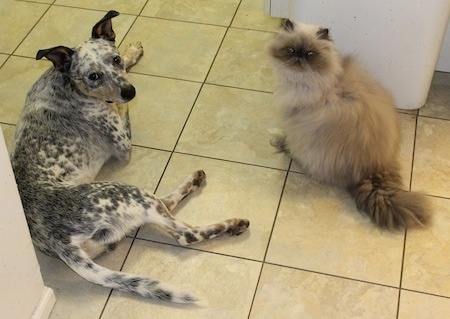 Pepper the Dalmatian Heeler is laying on a tiled floor next to a cat named Fluffy that is in front of a trash can