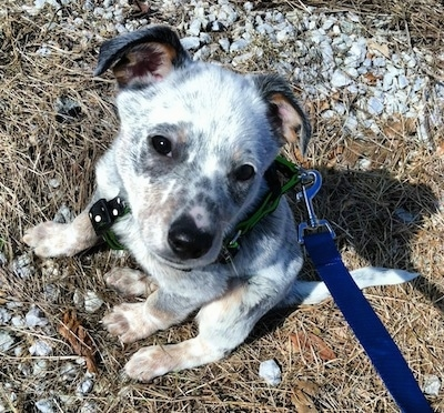 Pepper the Dalmatian Heeler as a Puppy is sitting in grass brush and rocks