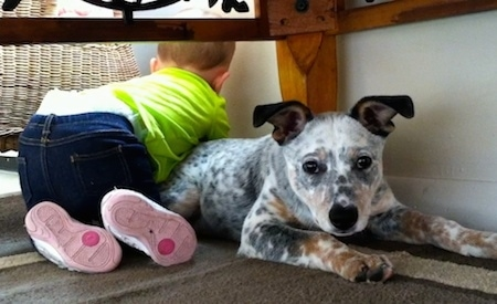 Pepper the Dalmatian Heeler as a puppy is laying under a table and Ava the Child is laying over his back