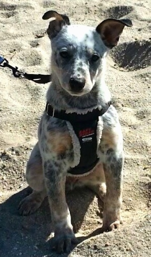 Pepper the Dalmatian Heeler as a puppy is sitting on sand at a beach