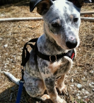 Close Up - Pepper the Dalmatian Heeler as a puppy is sitting outside in dirt wearing a harness