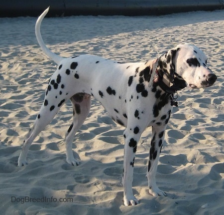 Bode the white with black spotted Dalmatian is standing in sand. There is a large black pipe in the background