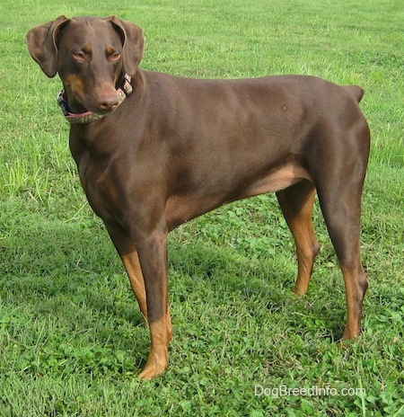 Bella the brown and tan Doberman Pinscher is standing outside in grass