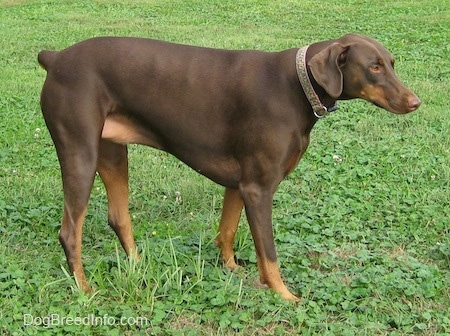 Bella the brown and tan Doberman Pinscher is standing in grass and looking forward