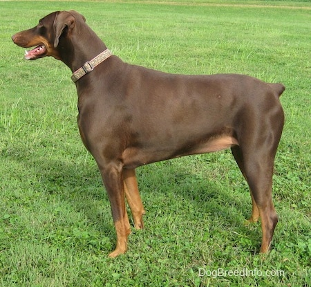 Bella the brown and tan Doberman Pinscher is standing outside and looking forward. Her mouth is open