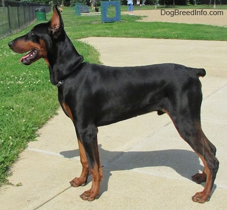 Left Profile - Maximus the black and tan Doberman Pinscher is posing at a dog park