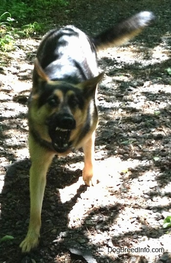 A black and tan German Shepherd dog is barking in an aggressive stance on a dirt path
