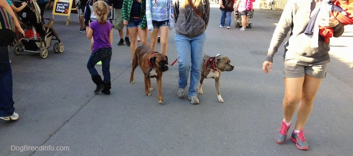 Spencer the Pit Bull Terrier and Bruno the Boxer being walked through an amusement park