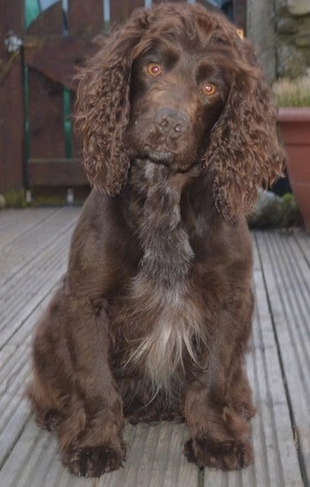 Eddie the chocolate English Cocker Spaniel is sitting on a wooden deck.