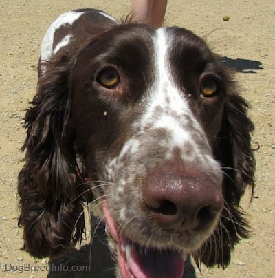 Close Up head shot - Duke the English Springer Spaniel is looking up at the camera holder. His mouth is open and his tongue is out