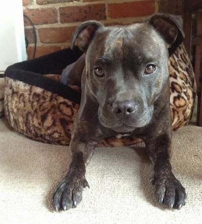 Close up front view - A brindle with white Staffordshire Bull Terrier dog laying half way off of a dog bed with its front paws on a carpet looking forward. There is a brick wall behind it. The dog has brown eyes and a black nose.