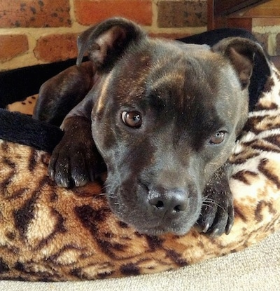 Close up - A black brindle Staffordshire Bull Terrier dog laying inside of a cheetah print dog bed looking down and to the right.