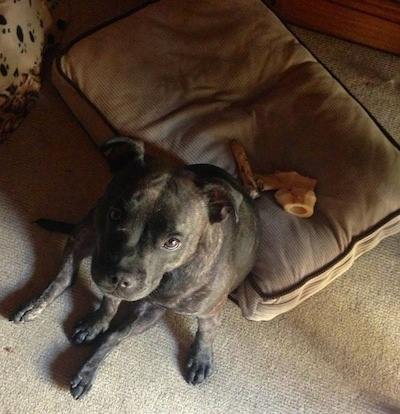 Top down view of a black brindle Staffordshire Bull Terrier dog that is sitting on a pillow and it is looking up. It has dog bones on the bed behind it.
