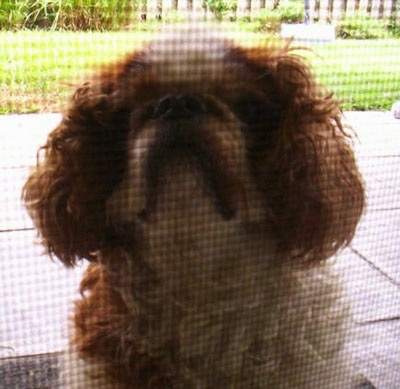 Bridey the red and white English Toy Spaniel is sitting on a porch in front of a screen door