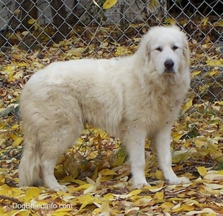 Tundra the Great Pyrenees standing on leaves in front of a chain link fence