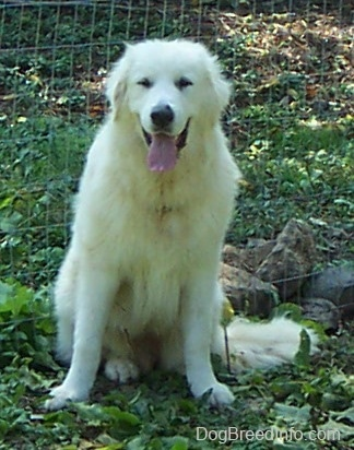 Tundra the Great Pyrenees sitting on grass in front of a chain link fence looking happy with his tongue hanging out