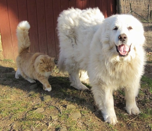 Tundra the Great Pyrenees standing alongside a cat for a picture