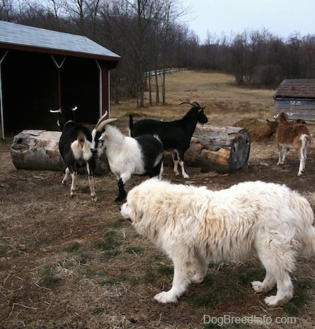 The left side of a white Great Pyrenees that is looking at a herd of goats