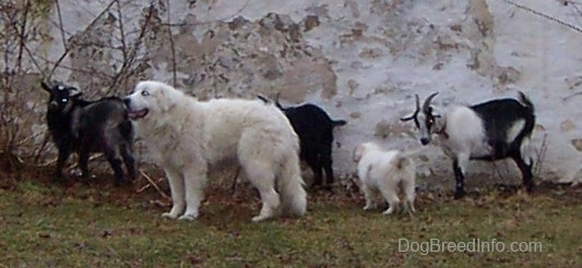 The left side of a white Great Pyrenees that is standing in front of a herd of goats and there is a Pyrenees puppy standing behind him.