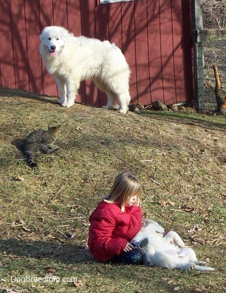 The left side of a white Great Pyreneesthat is standing on top of a hill in front of a red barn looking at a cat part way down the hill and a girl in a red coat petting a white puppy in her lap