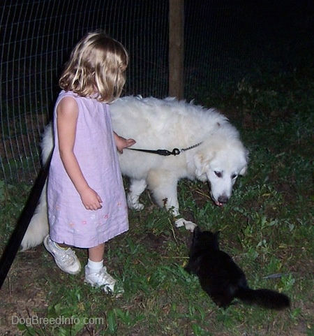 The right side of a white Great Pyrenees that is standing on grass and it is looking at a cat next to a little girl