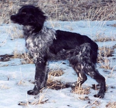 Side view - A black with white ticked French Brittany Spaniel is standing in a field with snow