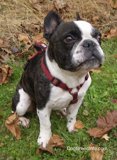 A black brindle and white French Bulldog is wearing a red harness sitting in a green grassy area with tall dead grass behind it