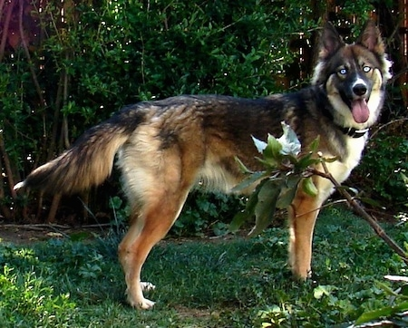 A blue-eyed black, tan  and white Gerberian Shepsky is standing in a wooded yard in front of a line of trees. Its mouth is open and tongue is out