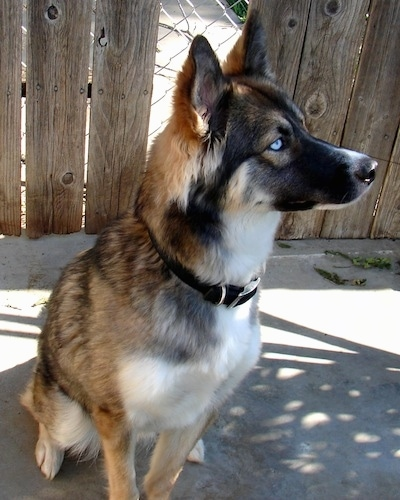 A blue-eyed black, tan and white Gerberian Shepsky is sitting in front of a wood plank and chainlink fence looking to the right