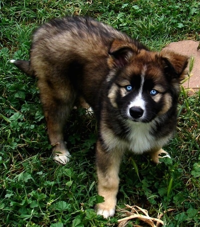 A blue-eyed black, tan and white Gerberian Shepsky puppy is standing in grass next to a red rock