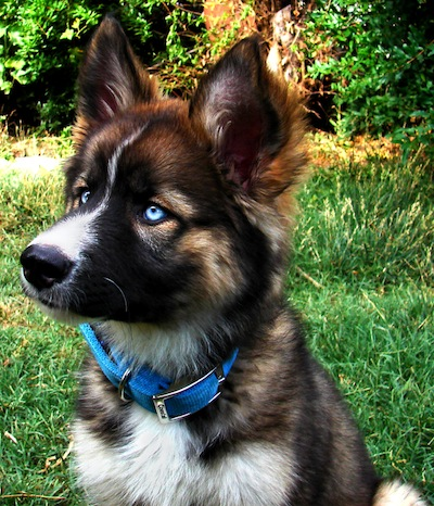 close up head shot - A blue-eyed black, tan and white Gerberian Shepsky puppy is wearing a blue collar sitting in a field and looking to the left. There is a line of thick bushes behind it