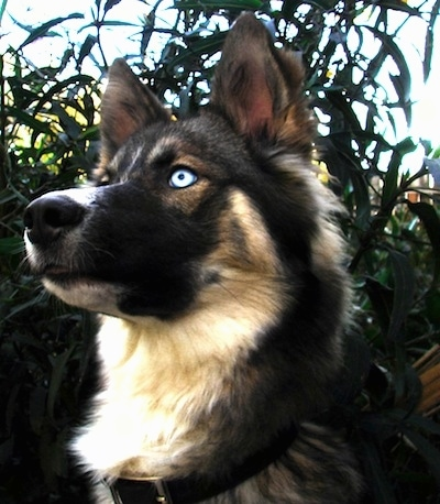 Close up head shot - A blue-eyed black, tan and white Gerberian Shepsky dog is looking to the left. There are bushes behind it.