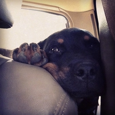 Close up - A black and tan Rottweiler puppy has its face and its paw in between a back seat of a car and a door.