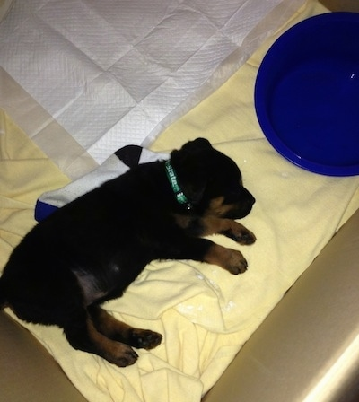 A black and tan Rottweiler puppy is sleepingon a yellow blanket on its left side. There is a blue water bowl and a pee pad in front of it.