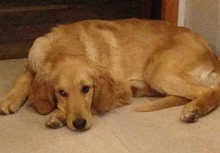 A Golden Retriever is laying down on a tiled floor in front of a doorway