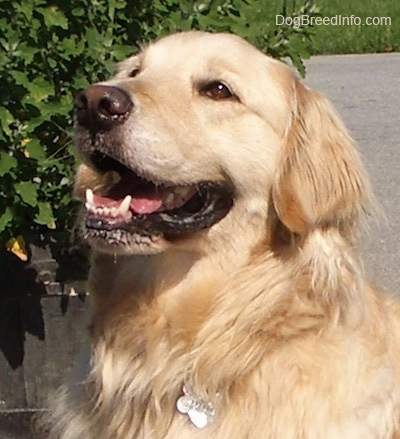 Close Up upper body shot - A happy smiling cream-colored Golden Retriever is sitting on a black top next to a potted plant.
