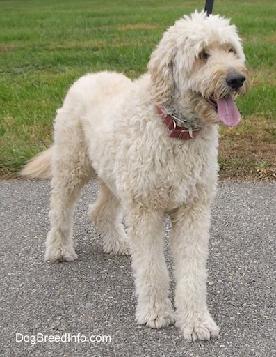 A cream colored Goldendoodle is standing on a black top and its mouth is open and tongue is out.