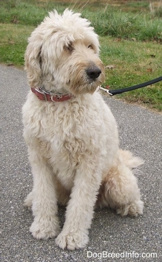 A Goldendoodle is sitting on a black top and looking to the right
