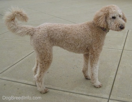 A short-shaved tan Goldendoodle is standing on concrete