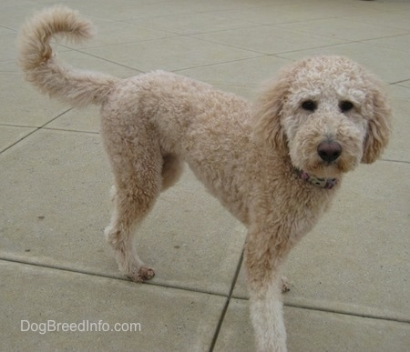 A tan groomed short Goldendoodle is standing on concrete