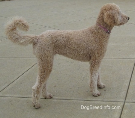 Right profile - A tan Goldendoodle with a coat that is groomed short is standing on a concrete patio