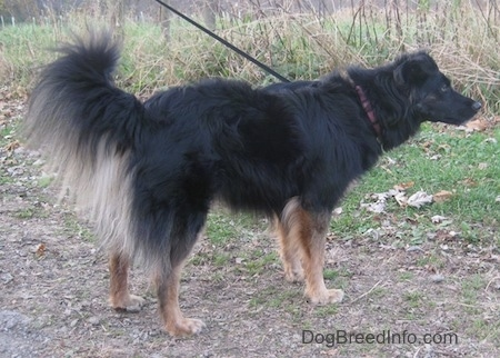 A long-haired black with tan Gordon Sheltie is standing outside on a dirt path in a field