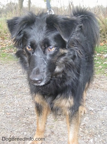 Close Up - The front view of a longhaired black with tan Gordon Sheltie