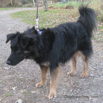 A longhaired black with tan Gordon Sheltie is standing on a pathway with its head lowered.