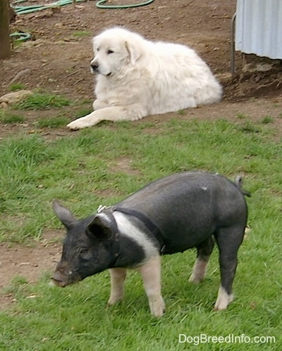 A Great Pyrenees is laying in dirt in front a black and pink pig wearing a black harness standing in grass