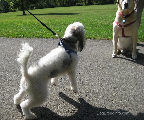 Wilbur the Chinese Crested Powderpuff is trying to pull the person holding the leash to Junior the labrador Retriever, both dogs are wearing a harness