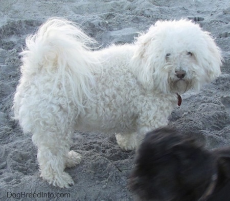 A fluffy white Havachon is standing on a beach and looking at a small black dog that is in front of it