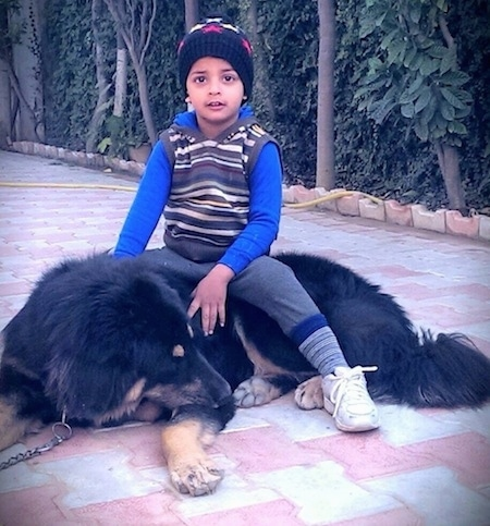 A Himalayan Chamba Gaddi Dog is laying on a brick sidewalk and there is a boy sitting on its back