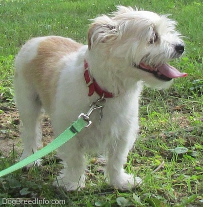 A panting white with tan Jack Tzu is standing in grass and looking to the right.