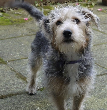 long haired jack russell terrier 2015 - Short Hairstyles Website